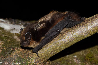 Severni netopir