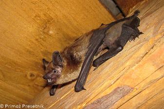 Pozni netopir