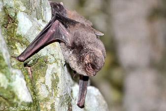Dolgokrili netopir