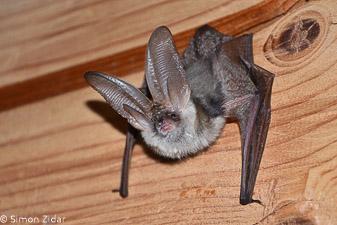 Usnjebradi uhati netopir