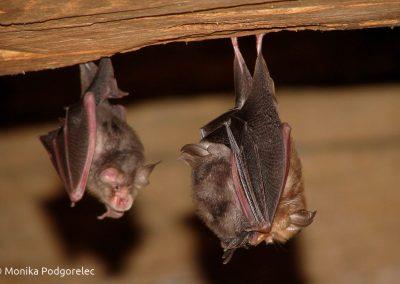 Varstvo netopirjev v regiji Alpe – Jadran