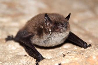 Obvodni netopir