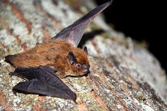 Belorobi netopir