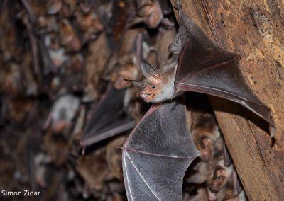 Navadni netopirji – prav posebni sosedje!