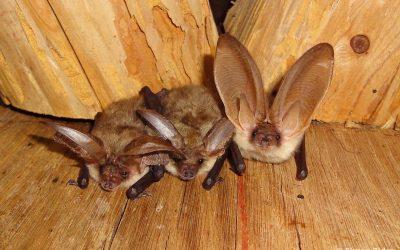 Vabljeni na Mednarodno noč netopirjev 2021